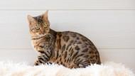 10 Jenis Kucing Peliharaan Favorit Cat Lovers Buat Dirawat di Rumah