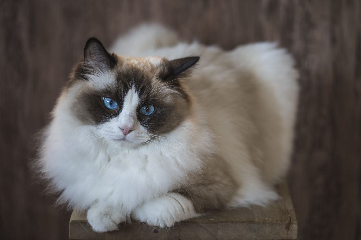 A bicolor brown and young white ragdoll cat with blue eyes, resting on a stool with a wooden background.