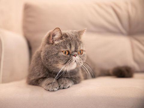 Grey beautiful cat on grey sofa house.pets of a cat