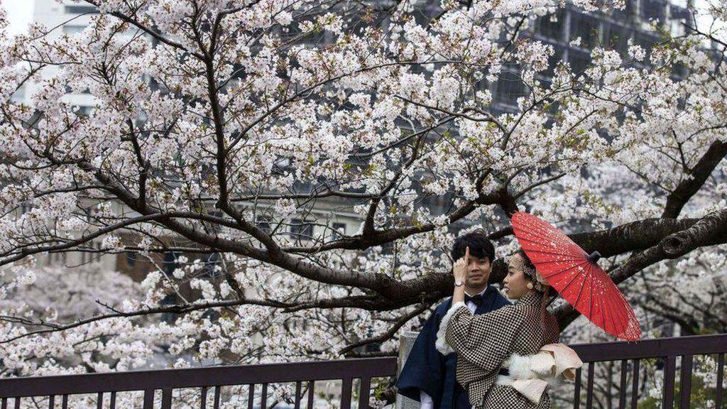 Mengapa Pohon Sakura di Jepang Berbunga Semakin Awal?