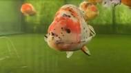 Sultan! Ikan Mas Koki Asal Vietnam Harganya  Rp 19 Juta Seekor