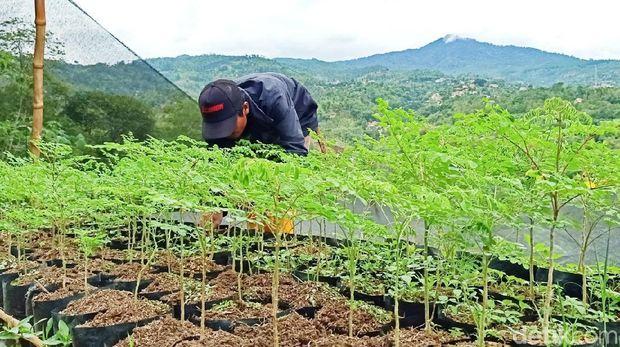 Warga Cimenyan Bandung fokus melakukan budidaya daun kelor