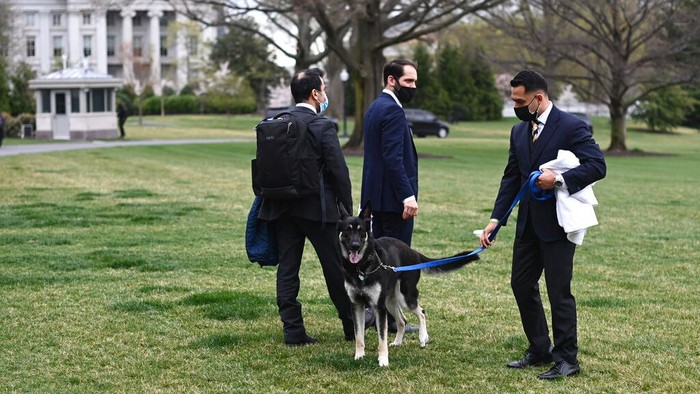 President Joe Biden and first lady Jill Biden's dogs Champ, right, and Major are seen on the South Lawn of the White House in Washington, Wednesday, March 31, 2021. (Mandel Ngan/Pool via AP)