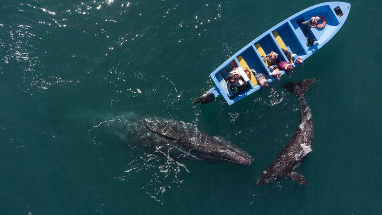 Aerial view of gray whales swimming near a whale watching boat at Ojo de Liebre Lagoon in Guerrero Negro, Baja California Sur state, Mexico on March 27, 2021. - A reduction of contagions from COVID-19 has boosted whale watching tourism in Mexico. Each year hundreds of North Gray Whales travel thousands of miles from Alaska to the Baja California Peninsula breeding lagoons, part of El Vizcaino Gray Whale Sanctuary, a  biosphere reserve and UNESCO World Heritage. (Photo by Guillermo Arias / AFP)