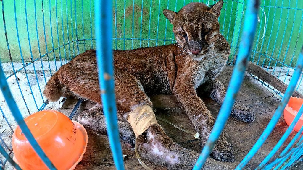 Perawatan Kucing Emas Asia Usai Ditemukan Sakit