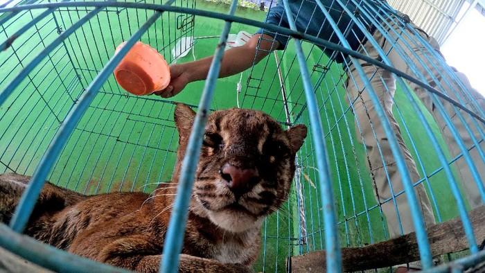 Seekor kucing emas Asia (Pardofelis temminckii ) berada di dalam kandang perawatan sementara Tempat Penyelamatan Satwa (TPS) BKSDA Jambi, Jambi, Kamis (1/4/2021). TPS tersebut merawat seekor kucing emas Asia dewasa jantan yang ditemukan petugas patroli BKSDA Jambi dalam keadaan sakit di lanskap Bukit Tiga Puluh provinsi itu. ANTARA FOTO/Wahdi Septiawan/foc.