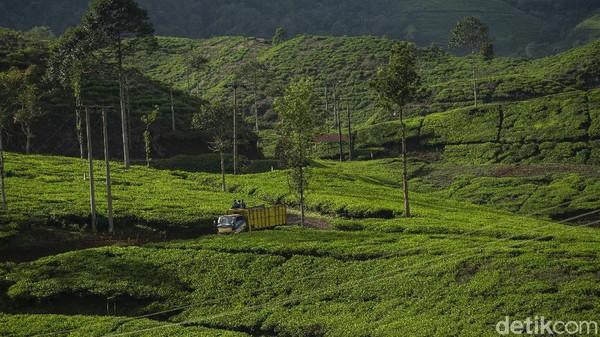 Truk menjadi andalan transportasi di lokasi ini. Desa Tugu Utara ini dikelilingi pegunungan yang asri dan tempat lahan perkebunan sayur dan teh.