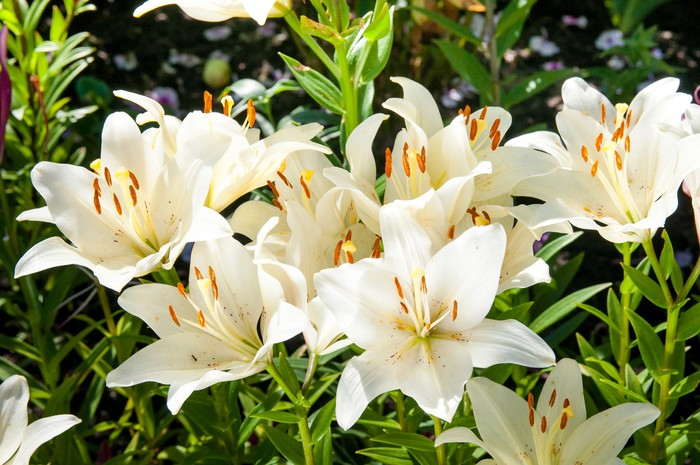 plant of flowering white liliesplant of flowering white lilies