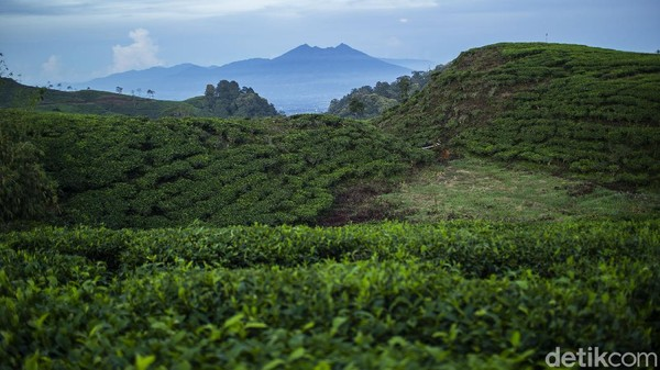 Hamparan kebun teh tersaji indah dengan latar Gunung Salak yang menyembul tipis.