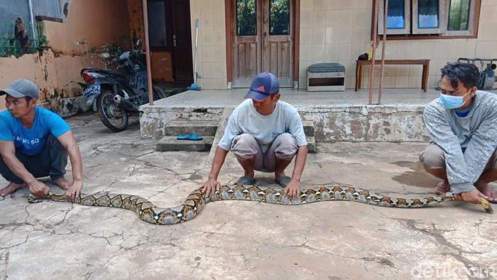 Seekor ular sanca kembang masuk ke permukiman penduduk di Desa Betek, Kecamatan Mojoagung, Jombang karena terbawa banjir. Ular sepanjang 4 meter sebetis orang dewasa ini sempat membuat panik warga setempat.