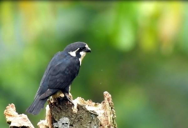 Koordinator Sanggabuana Wildlife Expedition, Bernard T Wahyu Wiryanta, mengungkapkan, penemuan itu didapatkan saat mendata sebaran burung di Pegunungan Sanggabuana bersama tim BDB Indonesia. Foto: (Bernard T/Istimewa)