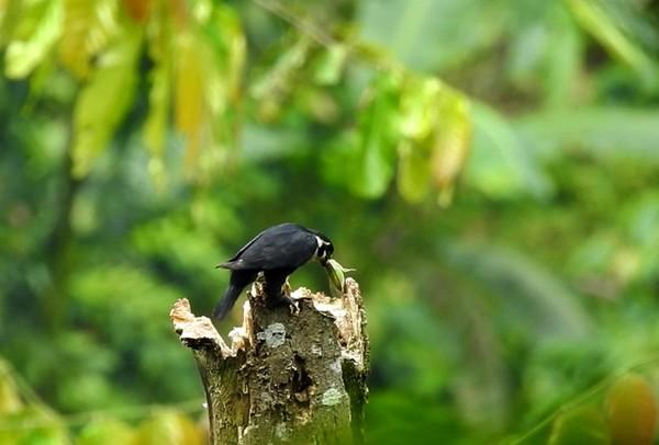 Alap-alap itu baru membuat sarang untuk anak yang baru menetas. Sesuai namanya, alap-alap capung memangsa serangga seperti capung, kupu, kumbang, juga tongkeret untuk makanannya. Ukuran Alap-Alap Capung ini tidak lebih dari 15 cm, sebuah ukuran yang sangat kecil untuk ukuran burung falcon atau carnivora, hingga disebut alap-alap terkecil. (Foto Istimewa/Bernard T)