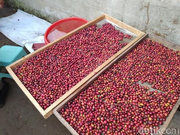Dusun Pengkol, Desa Ngawongo, melihat potensi budidaya kopi arabika. Selain itu, pengunjung bisa belajar tentang kopi di dusun tersebut. Lokasi ini persisnya berada di lereng Gunung Sumbing. (Foto: Eko Susanto/detikcom)