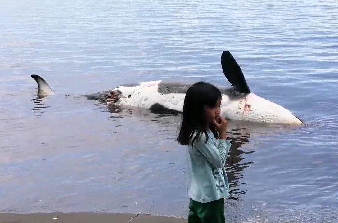Seekor paus pembunuh, orca ditemukan mati terdampar di Perairan Pantai Bangsring, Banyuwangi. Temuan ini langsung dilaporkan ke Satpolairud Polresta Banyuwangi.