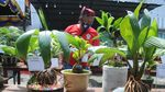 Melihat Kontes Bonsai Kelapa di Pamekasan