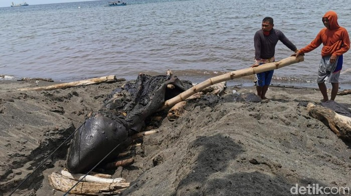 Balai Konservasi Sumber Daya Alam (BKSDA) Banyuwangi melakukan penelitian soal terdamparnya paus orca di pesisir Selat Bali. Bersama Program Studi Kedokteran Hewan Universitas Airlangga (Unair) Banyuwangi, BKSDA meneliti penyebab kematian paus sepanjang 5 meter itu.