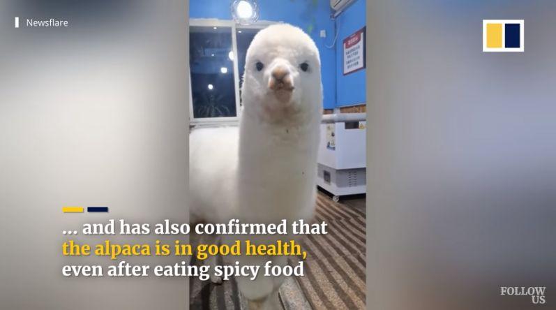 Kocak! Besar di Restoran BBQ, Alpaca Ini Hobinya Ngemil Makanan Pedas