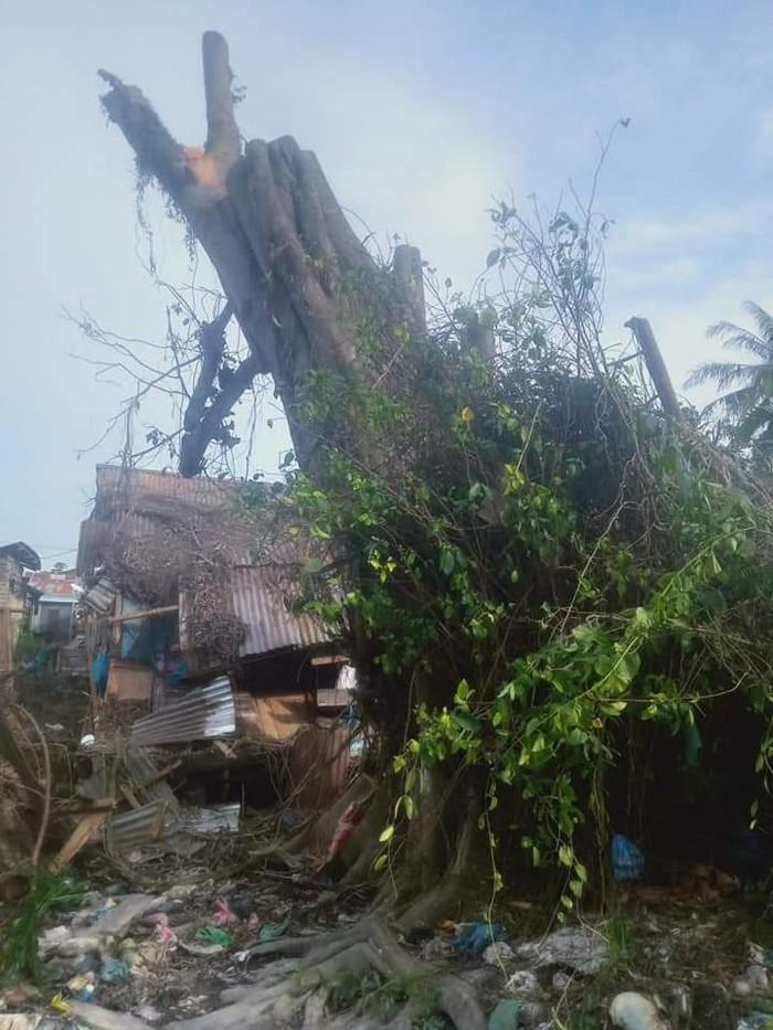 Pohon berusia ratusan tahun yang tumbang dan tegak kembali di Tanjungbalai.