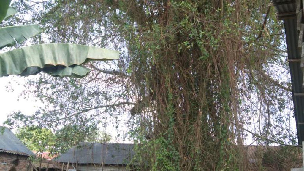 Ini Penyebab Pohon Raksasa Tua di Sumut Tumbang Lalu Berdiri Lagi