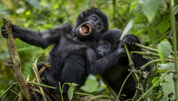 Dua bayi gorila gunung berusia satu tahun tertangkap kamera sedang berayun dari cabang pohon di hutan Taman Nasional Bwindi Impenetrable, Uganda, Senin (5/4/2021) waktu setempat.