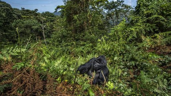 Uganda Wildlife Authority (UWA) hingga kini terus melakukan beragam upaya perlindungan, seperti upaya konservasi, patroli anti-perburuan liar, tim dokter yang selalu siaga, dan pemantauan 24/7 terhadap gorila telah membuahkan hasil.