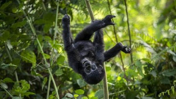 Gorila pegunungan (Gorilla beringei beringei) adalah salah satu dari dua subspesies gorila timur di Afrika.