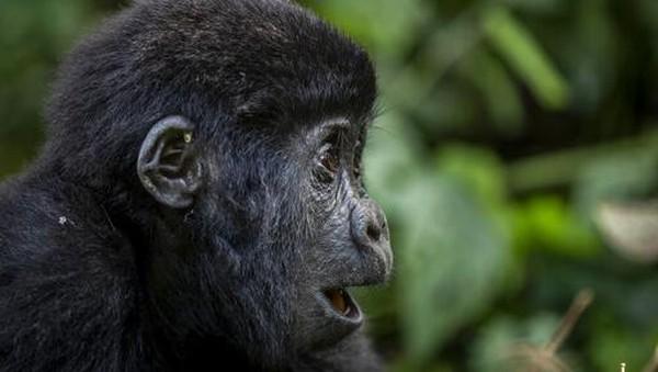 Populasinya tersebar di Pegunungan Virunga, kawasan gunung berapi yang berbatasan dengan Republik Demokratik Kongo, Rwanda, dan Uganda, dan Taman Nasional Bwindi Impenetrable di Uganda.