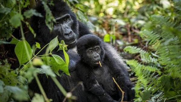 Direktur Eksekutif UWA, Sam Mwandha, mengatakan bahwa peningkatan pengamanan kawasan lindung membuat populasi gorila gunung semakin meningkat.