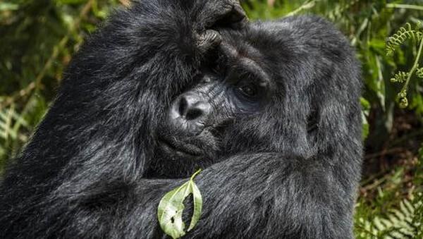 Sebagaimana dikutip dari BBC, gorila gunung merupakan spesies yang terancam punah dengan populasi lebih dari 1.000 ekor. Keberhasilan konservasi memberi harapan baru bagi perkembangbiakan gorila gunung.