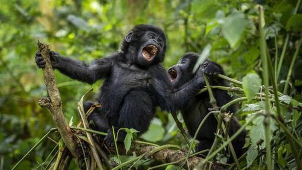 Taman Nasional ini juga dibuka untuk wisatawan yang ingin melihat langsung spesies gorila gunung.
