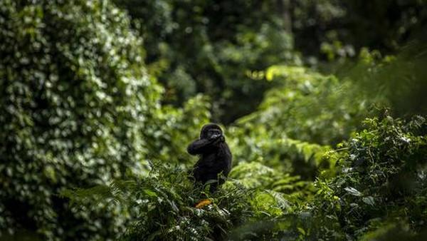Menurut sensus terbaru tahun 2018, terdapat lebih dari 1.000 gorila gunung di Taman Nasional Bwindi Impenetrable National Park.