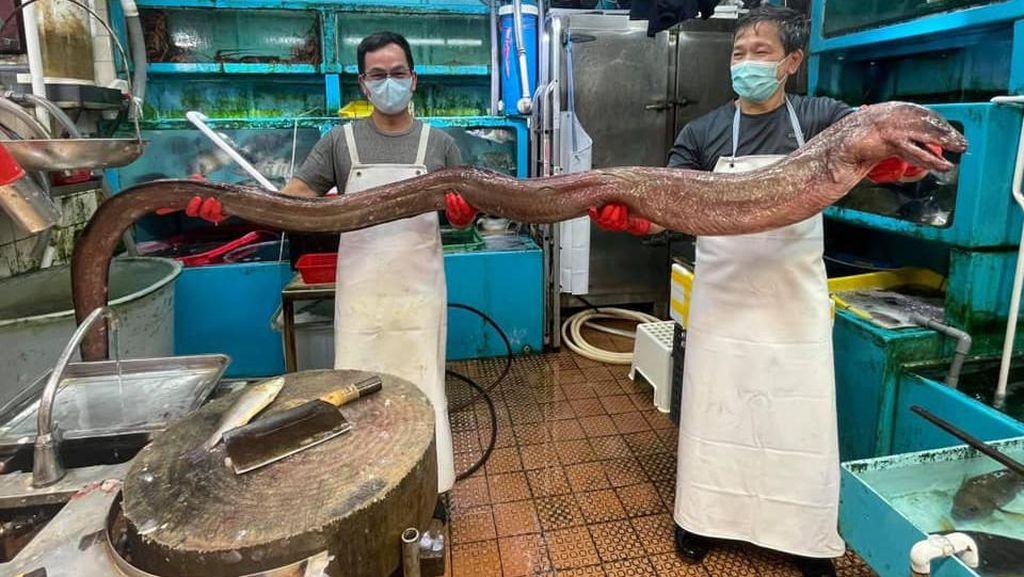 Belut Raksasa Langka 3,6 Meter Ini Ludes Diburu Pembeli