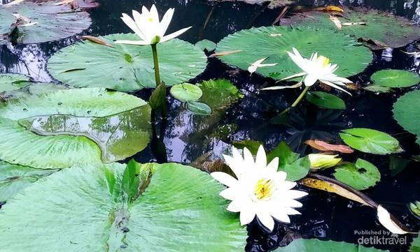 Cantiknya pagi hari disambut bunga teratai