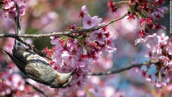 Bunga sakura yang lebih cepat mekar bukan hanya berdampak pada masalah wisatawan yang berebut menikmati sebelum semua kelopak jatuh. Perubahan itu bisa berimbas abadi pada seluruh ekosistem dan mengancam kelangsungan hidup banyak spesies.