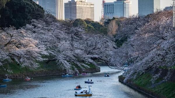 Bunga sakura bermekaran di Taman Kitanomaru di Tokyo, Jepang, pada 23 Maret 2021.