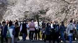 Bunga Sakura Jepang Mekar Terlalu Awal dalam 1.200 Tahun