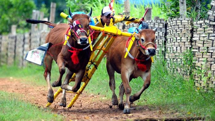 Joki memacu sapi kerapan saat latihan terakhir menjelang kejuaraan kerapan sapi se Madura, di Desa Mortajih, Pamekasan, Jawa Timur, Rabu (7/4/2021). Kejuaraan yang dibagi menjadi dua kelompok besar dan kecil itu akan dilaksanakan pada tanggal 10-11 April  2021 mendatang, sekaligus merupakan even terakhir sebelum bulan puasa. ANTARA FOTO/Saiful Bahri/hp.