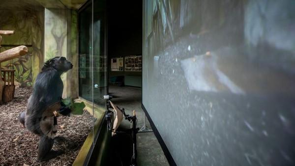 Taman tersebut telah menyiapkan siaran langsung dari kebun binatang di Brno untuk memperkaya kehidupan sehari-hari simpanse mereka di tengah penguncian.