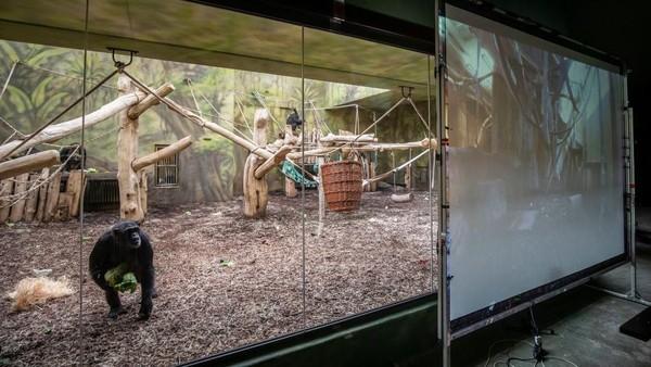 Taman Safari di Dvur Kralove, Republik Ceko memasang layar besar di kandang simpanse.