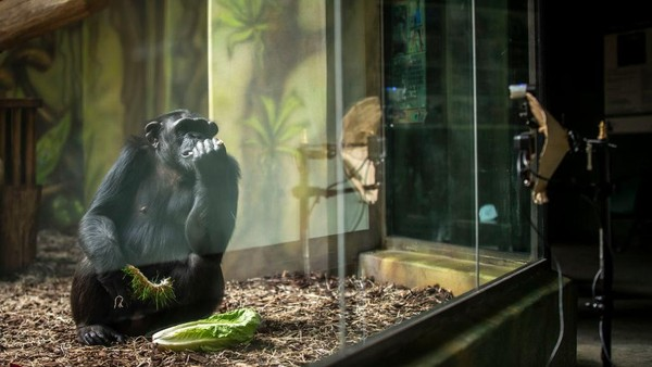 Semenjak pandemi, simpanse kesepian dan bosan. Para staf kebun binatang juga berusaha mengunjungi mereka lebih sering.