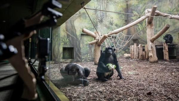 Layar yang dipasang membuat para simpanse ini berinteraksi dan bersemangat.