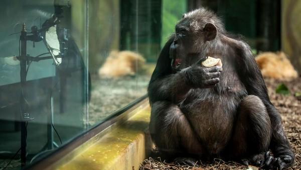 Jadi wisatawan belum bisa melihat langsung bagaimana tingkah lucu para simpanse ini.