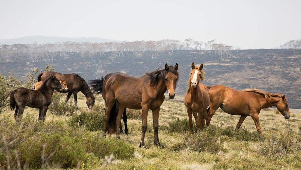Dikhawatirkan Merusak Taman Nasional, Australia Akan Basmi Ribuan Kuda Liar