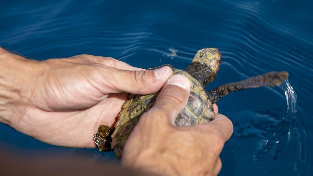 Pasca Tumpahan Minyak, Penyu Dilepasliarkan di Laut Mediterania