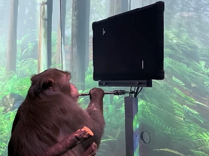 Neuralink pamerkan monyet yang bisa main game dengan kekuatan pikiran
