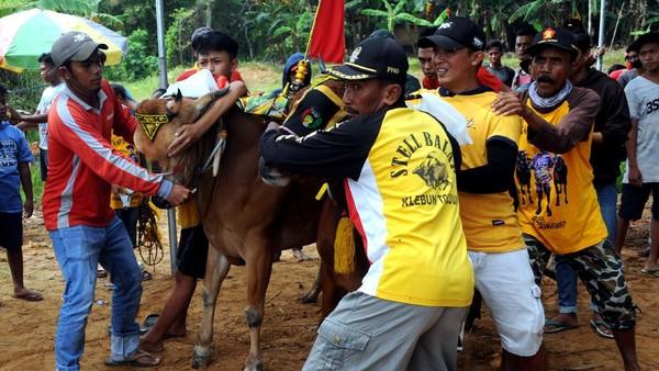 Kejuaraan karapan sapi yang berlangsung selama dua hari itu dibagi tiga kelompok yaitu besar, sedang dan kecil.