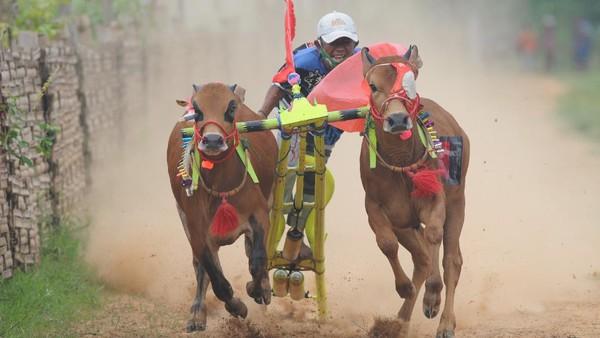 Joki memacu sapi karapan saat kejuaraan kerapan sapi se Madura di Desa Mortajih, Pamekasan, Jawa Timur, Jumat, Sabtu (10/4/2021).