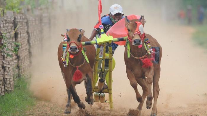 Joki memacu sapi kerapan saat kejuaraan kerapan sapi se Madura di Desa Mortajih, Pamekasan, Jawa Timur, Jumat, Sabtu (10/4/2021). Kejuaraan kerapan sapi yang berlangsung selama dua hari itu dibagi tiga kelompok yaitu besar, sedang dan kecil dan diikuti puluhan pasang sapi se Madura dan Probolinggo. ANTARA FOTO/Saiful Bahri/wsj.