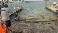 Ikan Gergaji Terpanjang di Dunia Ditemukan