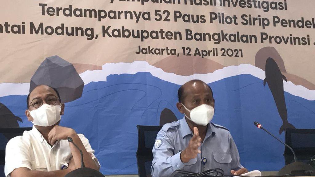 Respons Hasil Nekropsi 52 Paus Pilot, KKP Segera Ambil Tindakan